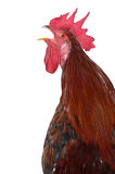 Hen. A hen on the white isolated Stock Photo