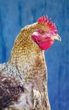 Hen against blue wooden wall Royalty Free Stock Image
