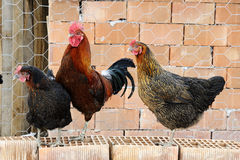 Free Hen And Cock Royalty Free Stock Photo - 18382235