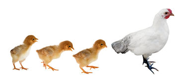 Hen ant three yellow chickens isolated on white. Background Royalty Free Stock Images