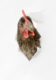 Hen in aperture Stock Image