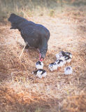 hen with babies  inside farm Royalty Free Stock Photo