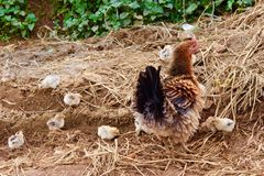 hen with baby Royalty Free Stock Photos