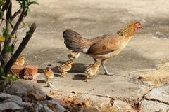 Hen with baby chickens chicks standing/running together on a farm, mother chicken protecting teaching baby chicken Stock Images