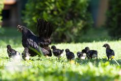 Hen with baby chickens on the garden. Hen with baby chickens on the yeard stock image