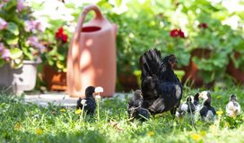 Hen with baby chickens on the yeard. Hen with baby chickens on the garden royalty free stock photography