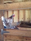 Hen on barn door Royalty Free Stock Photography