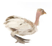 Hen from Benin. A hen from Benin in front of a white background royalty free stock photography