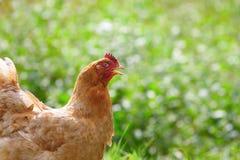 Hen at biofarm Stock Photos
