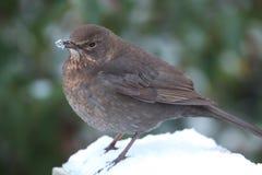 Hen blackbird. Royalty Free Stock Photo