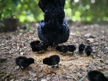 The hen brings the baby Royalty Free Stock Images