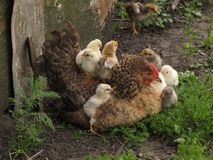 A hen a brood hen with chickens Stock Photos