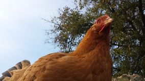 Hen. Brown chicken hen standing on a pole royalty free stock images