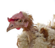 Hen from caged  farming Royalty Free Stock Photos