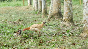 Hen And Chick Finding Food In Garden stock video footage