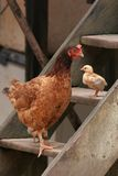 Hen & Chick stand on wooden steps, Brazil. Mother hen and a small chick stand on different steps of a wooden staircase. Amazon, Brazil stock images