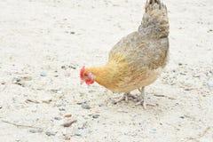 Hen Chicken Eating Grain van de Grond stock foto's