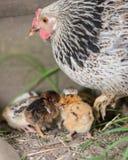 Hen with chicken Stock Photo
