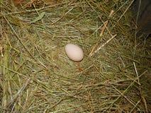 Hen Chicken Egg in Hay Nest op Klein Landbouwbedrijf Stock Afbeelding