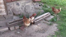 Hen chicken feed from trough in henhouse stock video