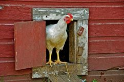 Hen in Chicken House. A chicken is stepping out of the chicken house door Royalty Free Stock Photography
