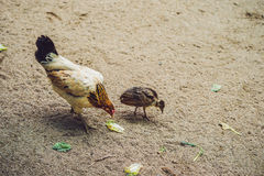 Hen and chicken are looking for grains on the ground, rural scene Stock Photo