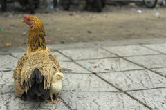 A hen and chicken on the sidewalk of the road. Chicks hiding under the mother hen on the sidewalk of the road Royalty Free Stock Images