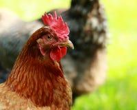 Hen Chicken Headshot Portrait in Profile Stock Image