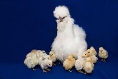 Hen with chickens Royalty Free Stock Images