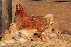 Hen with chickens Stock Images