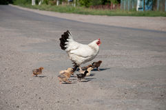 Hen with chickens on the road. Hen with chickens cross the road stock photos