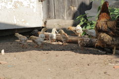 Hen with chickens walking in farm`s yard royalty free stock photos
