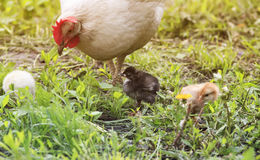 A hen with chickens walking on a green grass on the farm in the Royalty Free Stock Photo