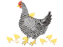 Hen with chickens. Royalty Free Stock Photography