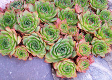 Hen And Chicks. Pink and green red-tipped Hen and Chicks plant (Sempervivum species).  Also called houseleek and stonecrop Stock Image
