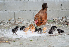 Hen and chicks Royalty Free Stock Image