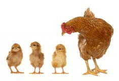 Hen and chicks Royalty Free Stock Images