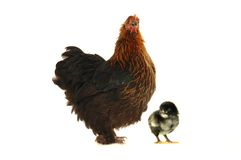 Hen and chicks Stock Photography