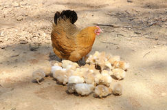 Hen & Chicks. Golden baby chicks and their mother hen in a farmyard Stock Image