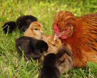 Hen and chicks. A hen is sitting on the grass with her chicks Stock Photography