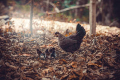 Hen with chicks. Brown hen with little chicks Stock Images