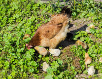 Hen with chicks Royalty Free Stock Photos