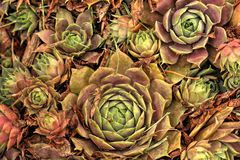 Hen and Chicks Royalty Free Stock Photos