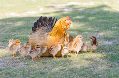 Hen with chicks Stock Images