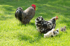Hen with chicks Royalty Free Stock Image
