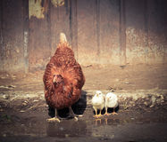 Hen with chicks near the pool. A hen with little chickens drinking water from puddles in the village stock photos