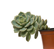 Hen and Chicks plant Stock Photography