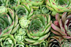 Hen and chicks plant Royalty Free Stock Photos