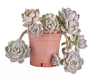Hen and Chicks plant Royalty Free Stock Photography