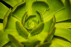 A Hen and Chicks or Rosette or Stone Lotus or Succulent Plants c Royalty Free Stock Photo